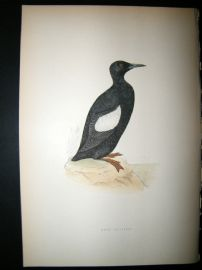 Morris 1870 Antique Hand Col Bird Print. Black Guillemot